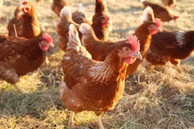 Bird Flu: All Eyes On Nigeria?