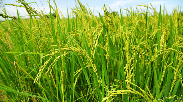 "The ""Lake Rice"" initiative and developing the Nigeria Local Rice Industry"