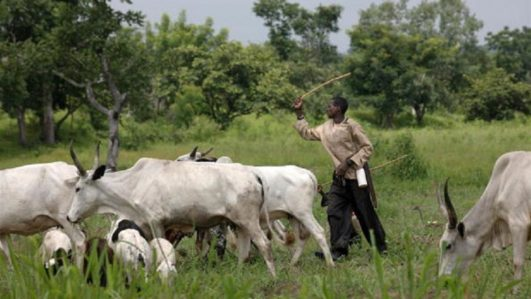 FG bans open grazing of cattle in 5 states, vows to stop foreign herders